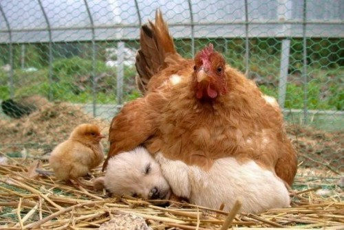 Chicken blanket