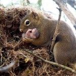 Mother squirrel holding baby