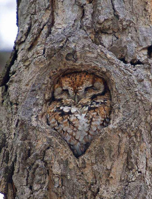 Comfy owl