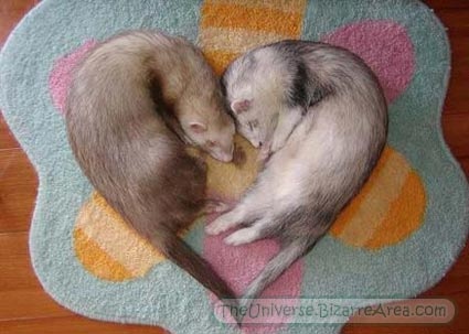 Cutest weasels ever