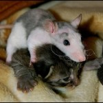 Mouse owns kitty