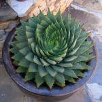 Spiral Cactus