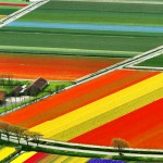 Tulip fields – Holland