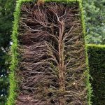 Cross section of a hedge